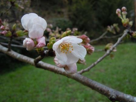 サクラ開花4(2018-03-25)