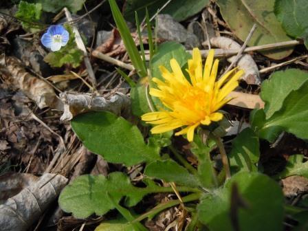 春の野花6(2018-03-25)