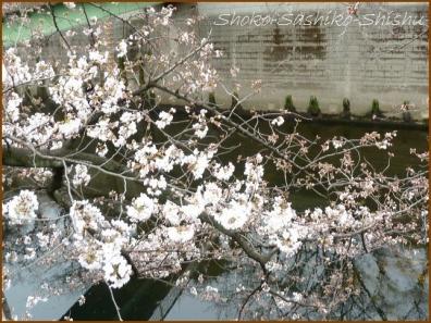 20180320  神田川  4   桜下見