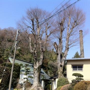 ケヤキの双巨木