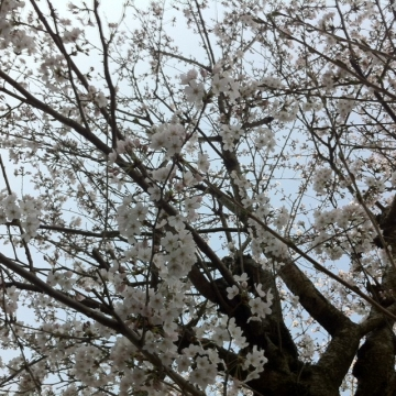 桜が満開でびっくり