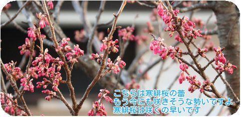 ⑦寒緋桜蕾