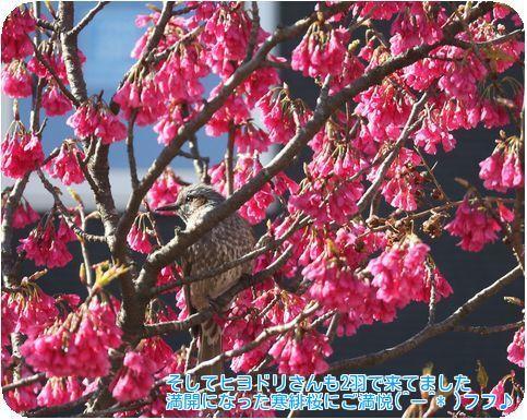 ④ヒヨドリと寒緋桜