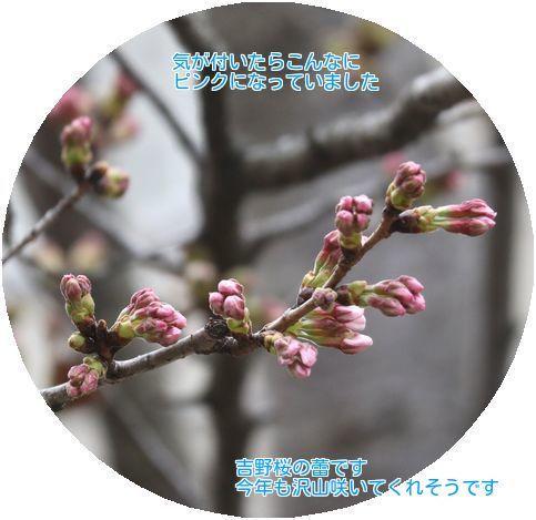 ⑤吉野桜の蕾