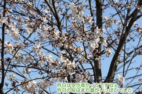 ②昨日の桜
