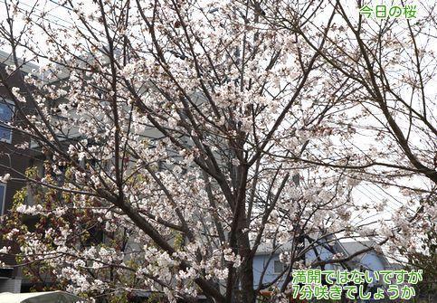 ③今日の桜