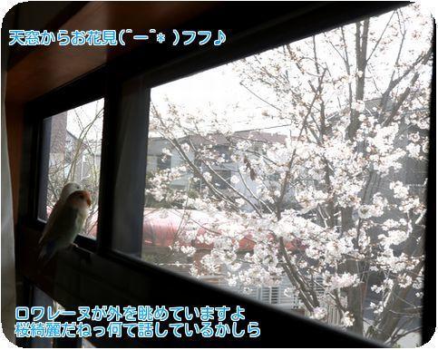 ⑤ロワレーヌお花見