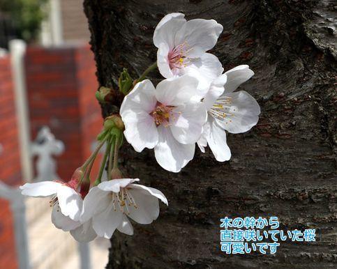 ⑦幹に咲いた桜