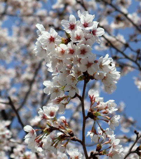 ②桜綺麗です