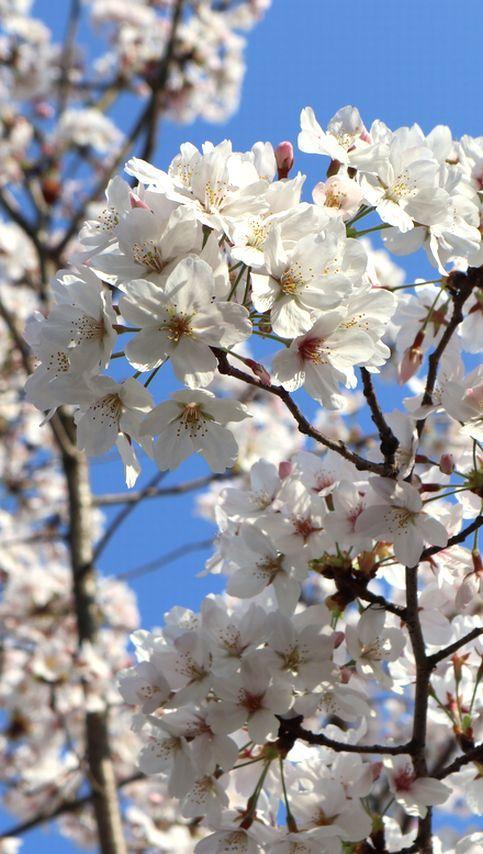 ⑧ありがとう桜