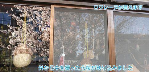 ⑦窓に映る桜