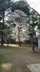 上野公園上野公園の桜2018年3月26日その1