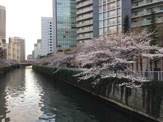目黒川の桜(五反田~大崎)