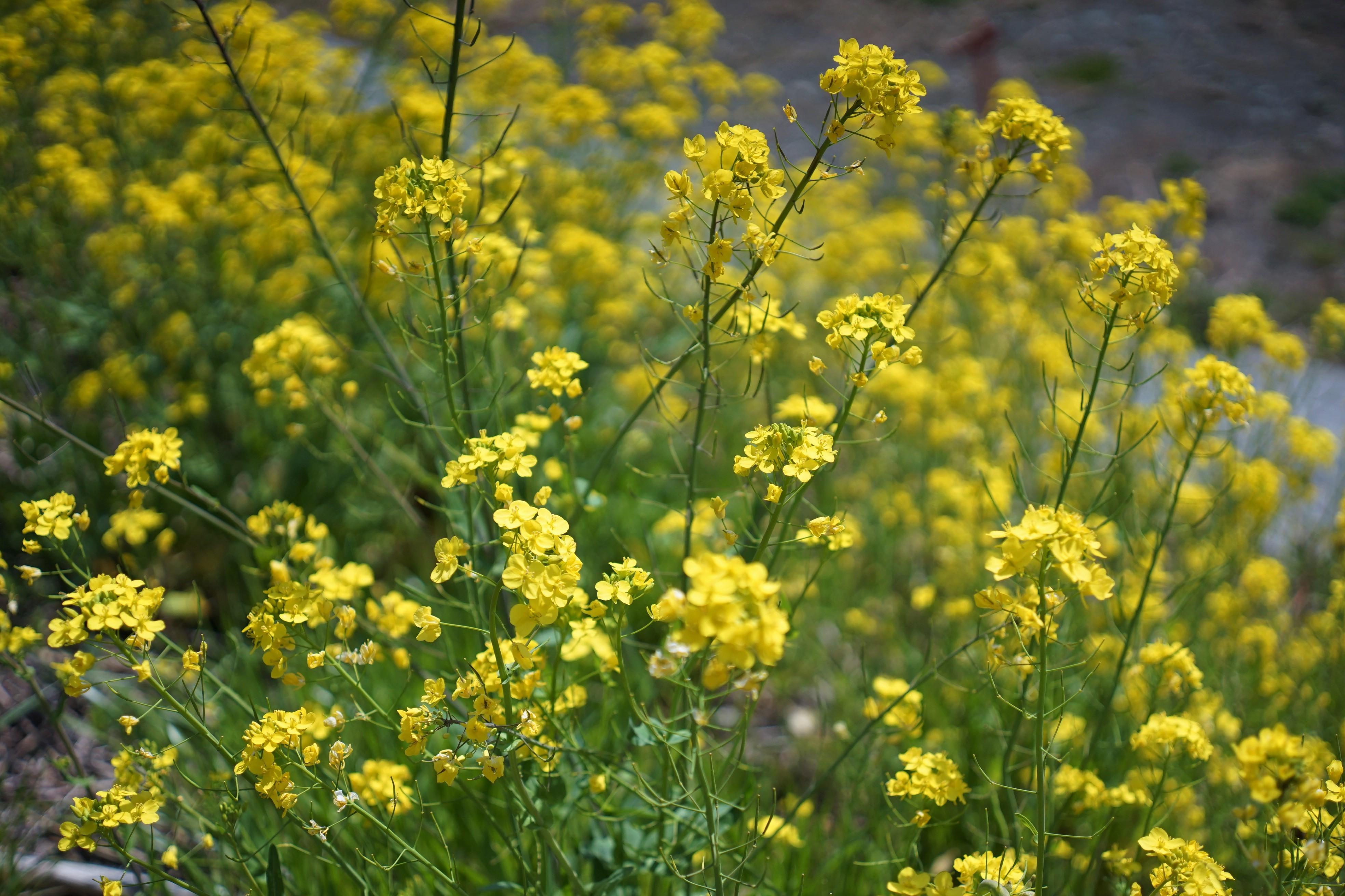 菜の花(酒匂川サイクリングコース3)