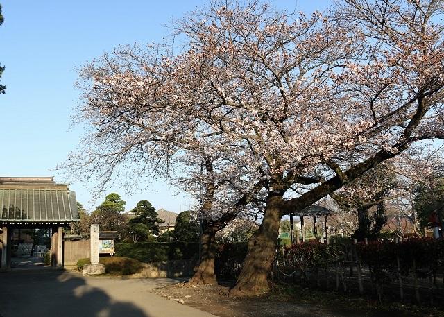 浄見寺の山門と桜