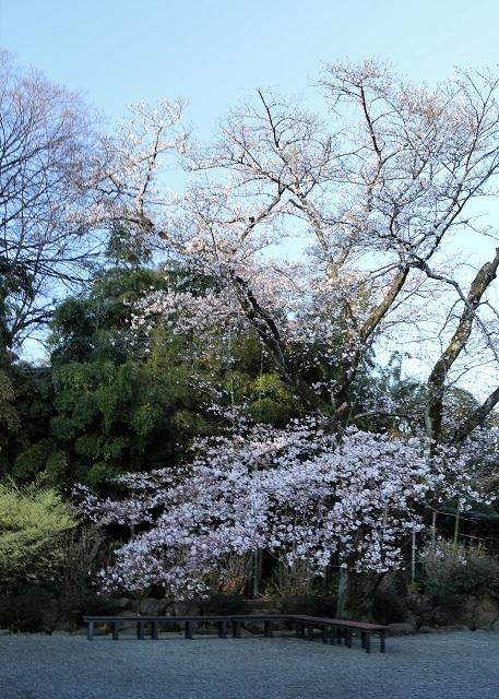 浄見寺の桜