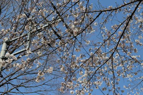 20180331グリーラインの桜 (1)