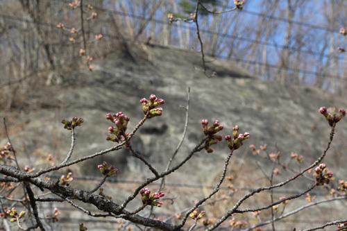 20180331荒川ダムの桜 (2)