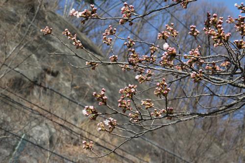 20180331荒川ダムの桜 (3)
