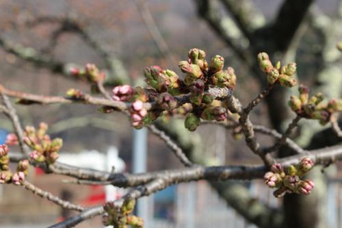 20180331荒川ダムの桜 (7)