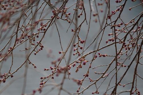 20180331金櫻神社 枝垂桜