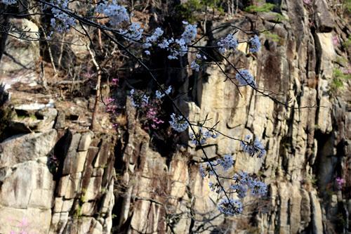 20180401渓谷道の桜 (1)