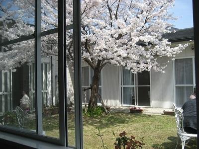 会議室窓から桜