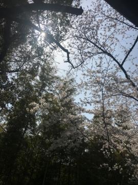 20180329花見01