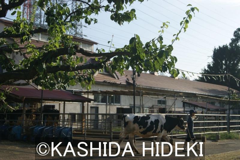 相原高校の牛