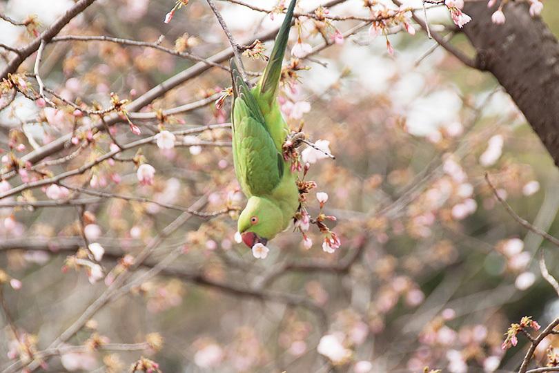 桜ワカケIMG_9695