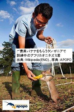 ご褒美バナナをもらう訓練中のアフリカオニネズミdownsize