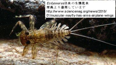 Ecdyonurus幼虫の水棲昆虫原典より借用