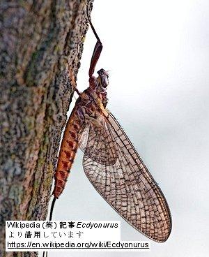 カゲロウEcdyonurusの成虫(ウキペディアより借用)