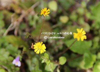 我が家の芝生のタビラコの黄色い花REVdownsize