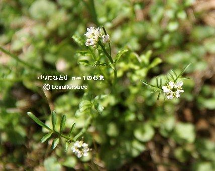 名前を知らない庭の白い小さな花REVdownsize
