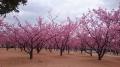 河津桜全景