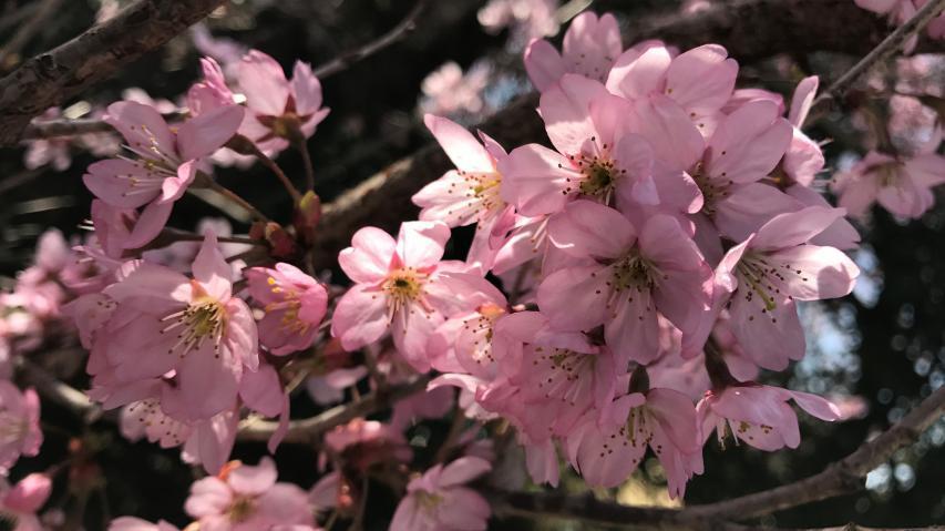 2018年3月17日、早咲きのサクラが満開! 南あわじ市北阿万にて