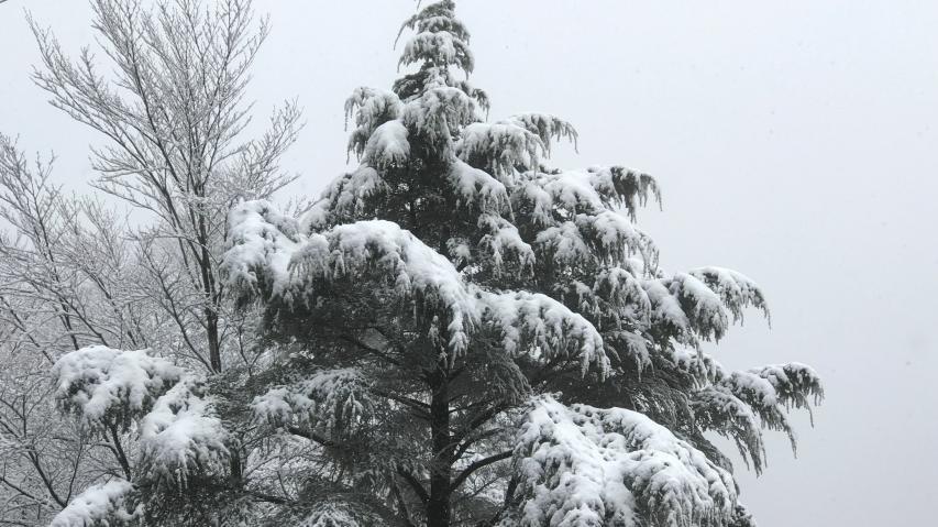ツガの上に雪