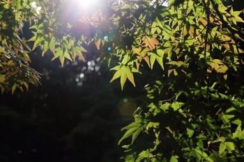 45, 2016-10-12 万博自然文化園 015 イロハモミジ (いろは紅葉) その5。 Japanese maple 600×400