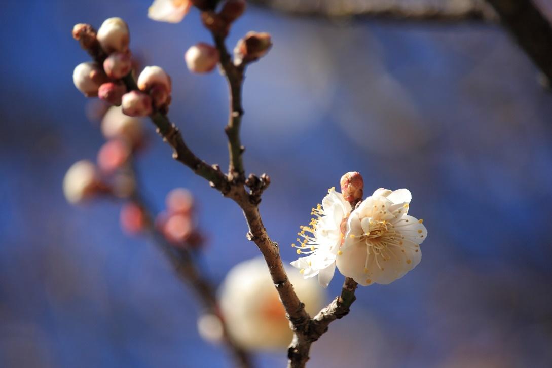 梅の開花・宇都宮市郊外18⑥