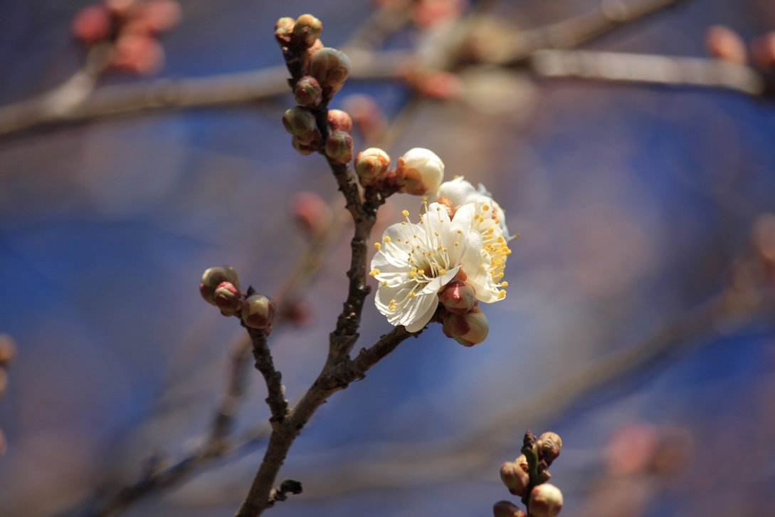 梅の開花・宇都宮市郊外18⑦