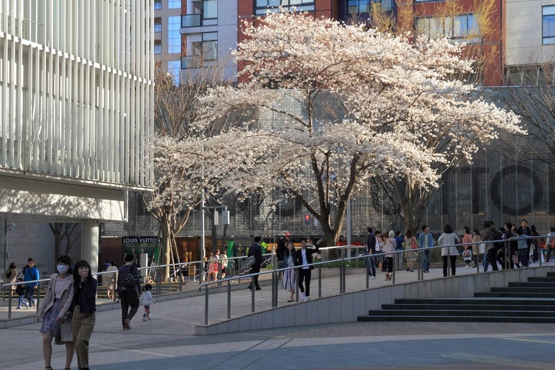 六本木ヒルズの桜18④