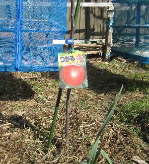 リンゴの木定植 (2)
