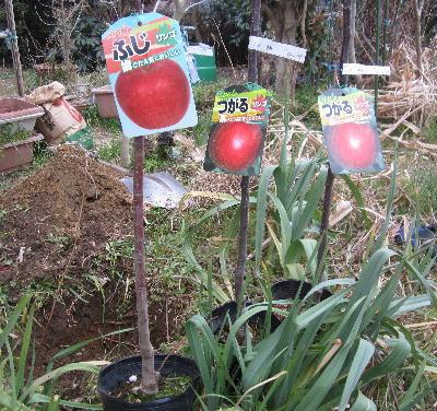 リンゴの木定植 (1)