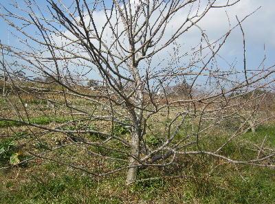 リンゴの木倒れる (3)