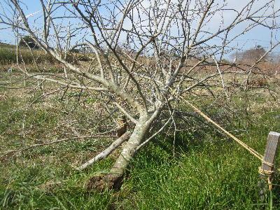 リンゴの木倒れる (2)