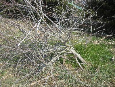 リンゴの木倒れる (1)