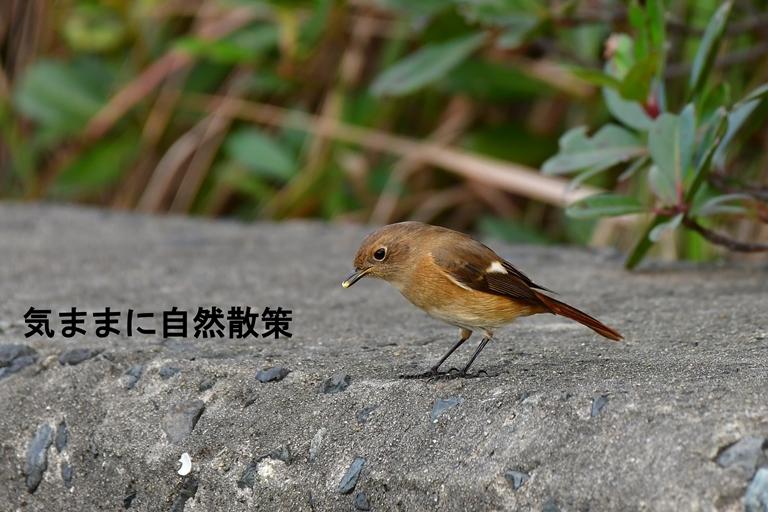 ジョウビタキ雌 (2)