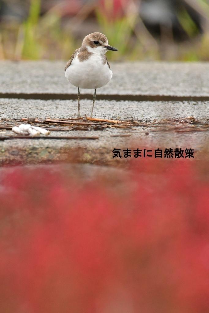 メダイチドリ (2)