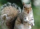 grey-squirrel rs
